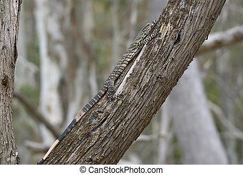 goanna going up a tree