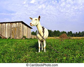 goat, νταντά