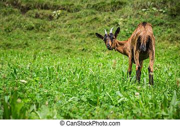 goat, ב, ה, ירוק, קיץ, אחו