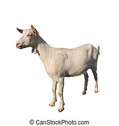 goat, 白, 隔離された, 若い