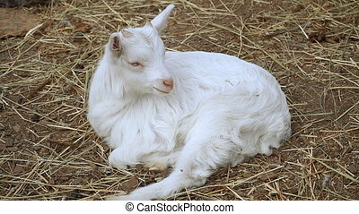 Goat. A white goat lies on the hay