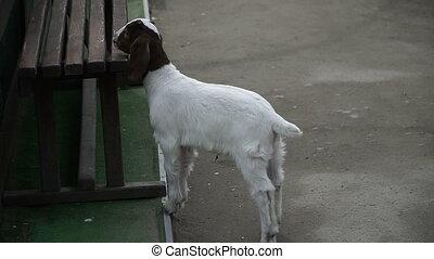 Goat. A white goat