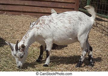 goat animal at the farm