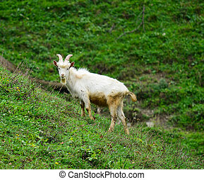 Goat at meadow grazing