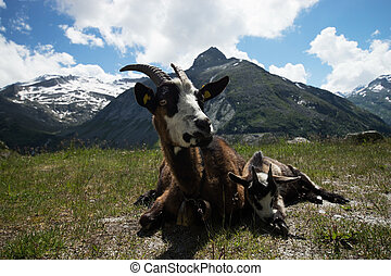 Goat at the Kölnbrein Dam, Carinthia, Austria