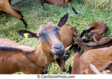Brown goat in husbandry pen at farm