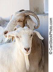 Goat Close-up in a Hacienda - Puerto Madryn - Argentina