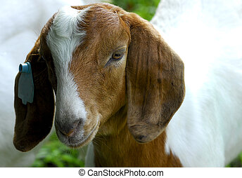 goat doeling - south african goat doeling out in the pasture