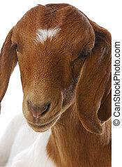 goat doeling - goat - south african boer goat doeling on...