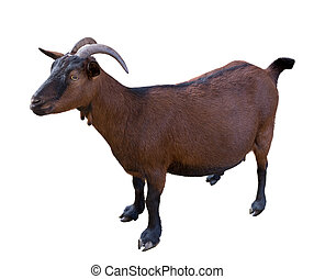 goat. domesticated, brown color. top view
