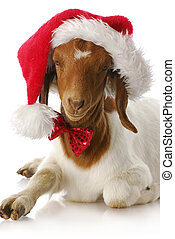 goat dressed up with santa hat - adorable south african boer...