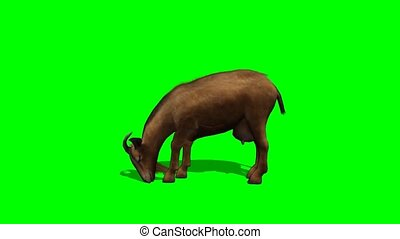goat eat - green screen