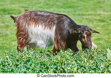 Goat Eating Grass