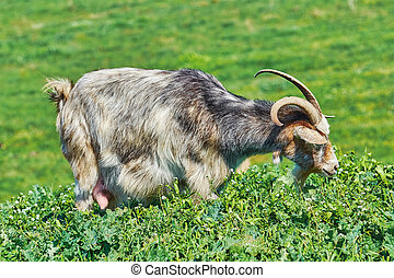 Goat Eating Grass on the Slope of a Hill