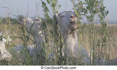Goat eating green plants or chewing herbs. Portrait of grazing herbivorous domestic animal