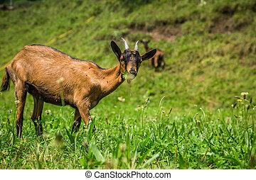 goat, en, el, verde, verano, pradera