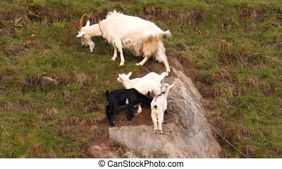 Goat family - mom and three merry goats