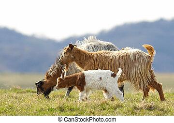 goat family walking on meadow