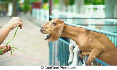 Goat Feeding at Farm slowmotion
