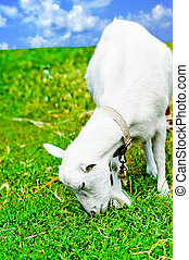 White goat grazed and has a lunch on a meadow or on a farm. Goat eating grass