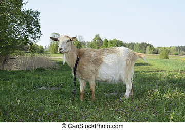 Goat grazing in the meadow.
