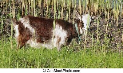 Goat grazing - Bulrush on background goat nibbling grass.