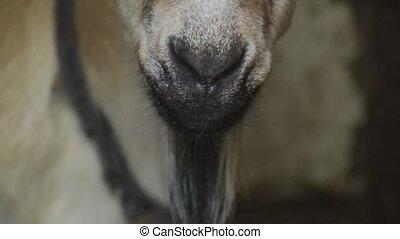 goat head close-up