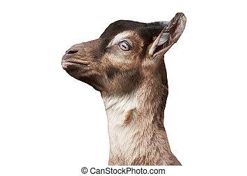 Goat head isolated on white background