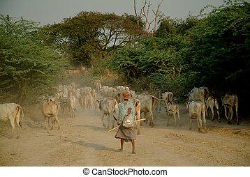 Goat herding, Bagan Archaeological zone, Myanmar  1
