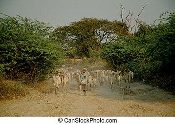 Goat herding , Bagan Archaeological zone, Myanmar  2.