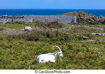 goat in Aran - A goat in Inishmore, Aran Islands, Ireland