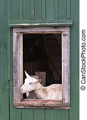 goat in barn window - goat looking out a wood window of a...