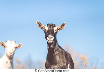 Goat in field. Goats eating grass, Goat on a pasture, Little goat portrait