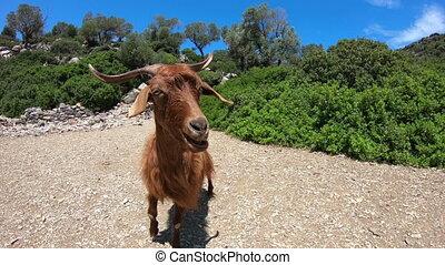 Goat in Greece, GoPro Full HD 1080