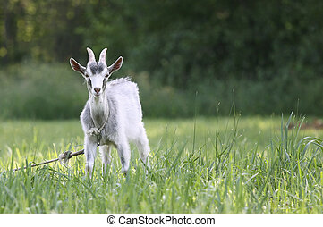 Goat in the field - Cute goat in the green pasture looking ...