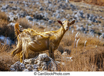 Goat in the mountains of Crete