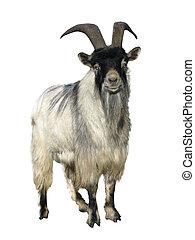 goat., isolato, sopra, bianco