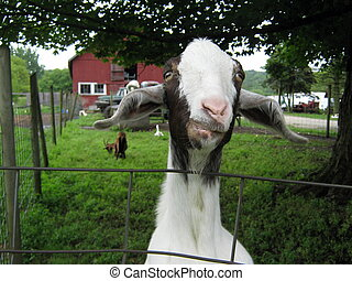 Goat Looking Over a Fence