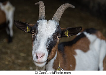 Goat looks curious - portrait - Goat curiously looks into...