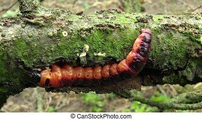 Goat moth Cossus cossus caterpillar, big red worm, eating...