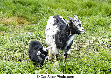 Goat mother with her young black kid on a green meadow in...