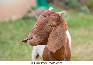 goat, naturaleza, cámara, mirar, encantador, verde, marrón