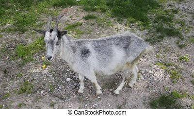 goat on a free pasture close up