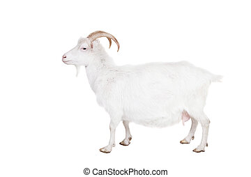 Goat on a white background - Goat standing up isolated on a...