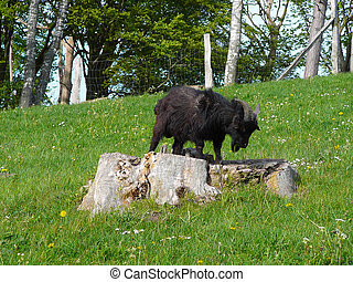 Goat on a wooden stump