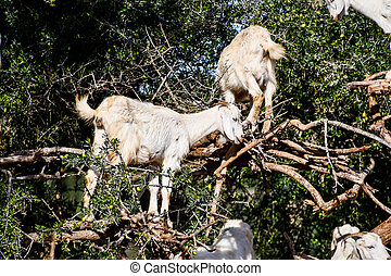 goat on farm, photo as background
