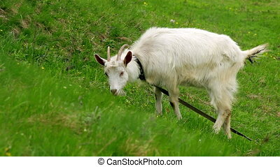 Goat on pasture - Goat eating grass