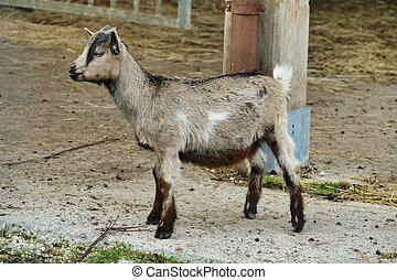 goat on the farm, photo as a background