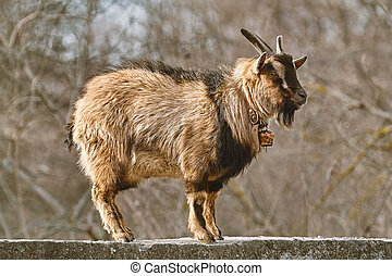 Goat on the fence - Horned billy goat standing on the fence