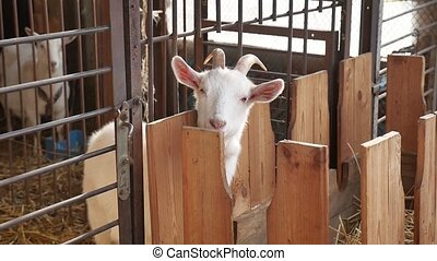 Goat on the goat farm pet Agriculture - Goat on goat farm...